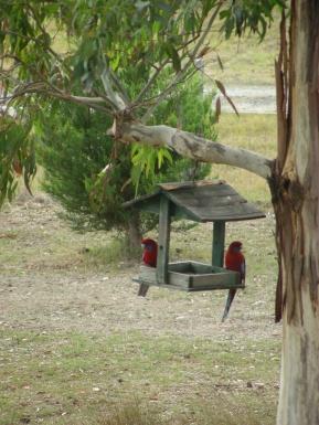 tr-aus13-Crimson-Rosellas-in-the-backyard