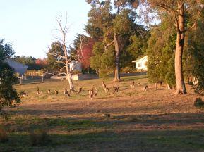 tr-aus14-Kangaroos-everywhere