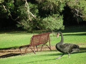 tr-aus8-Australias-Black-Swans
